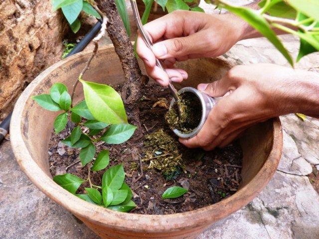 La yerba en las plantas: costumbre no muy beneficiosa