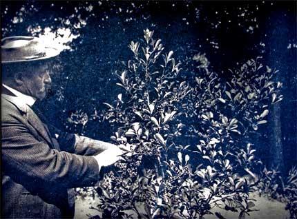 Carlos Thays con plantas de yerba mate en Buenos Aires