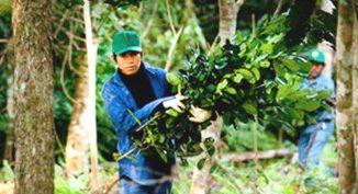 oyecto Ache Guayakí de cultivo de Yerba Mate bajo monte nativo