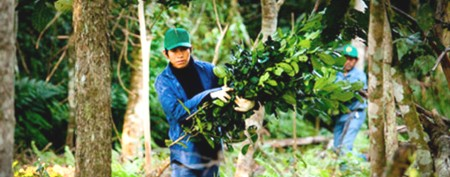 Cultivo de yerba mate Guayakí