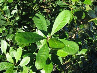 La planta de yerba mate: características