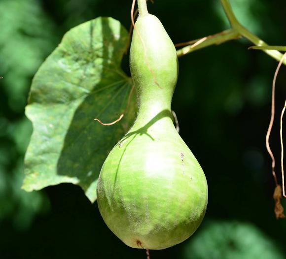 La calabaza: generosa planta que nos da los mejores mates